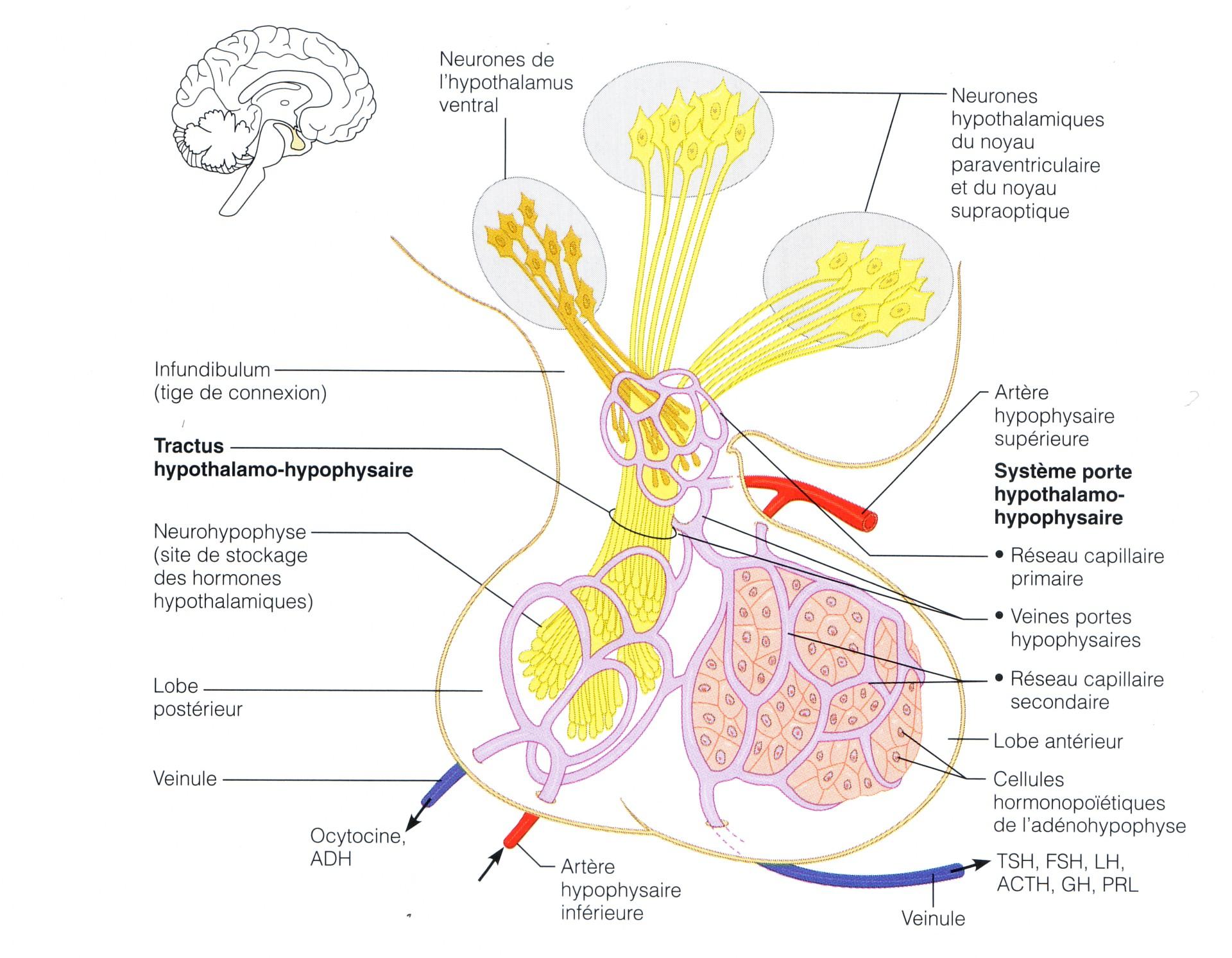 Erfreut Anatomie Der Hypophyse Fotos - Menschliche Anatomie Bilder ...