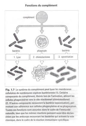leucocytes définition dictionnaire