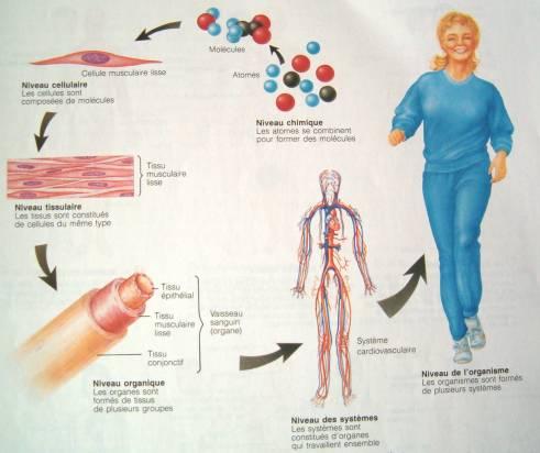 Schémas physiologie nerveuse